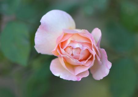 rose20151028-1g.jpg