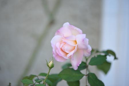 rose20151028-1h.jpg