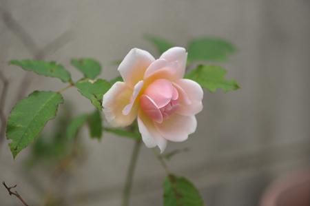 rose20151028-2.jpg