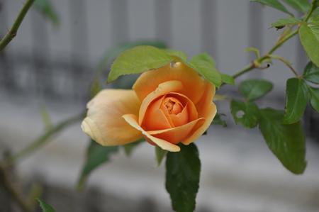 rose20151028-3.jpg
