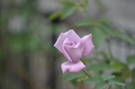 rose20151028-4.jpg