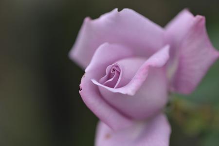 rose20151028-4a.jpg