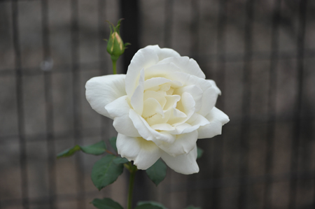 rose20151028-5.jpg