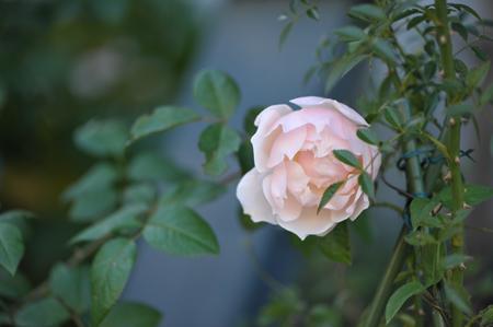 rose20151028-7.jpg