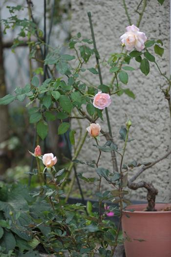 rose20151030-1a.jpg