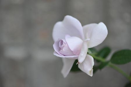 rose20151030-2.jpg