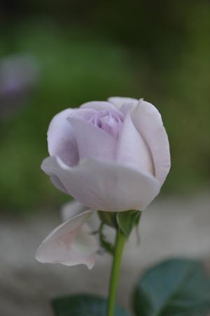 rose20151030-3.jpg