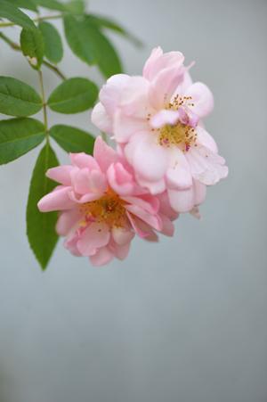 rose20151030-4.jpg
