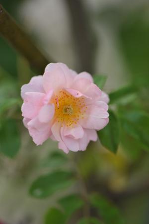 rose20151030-4a.jpg
