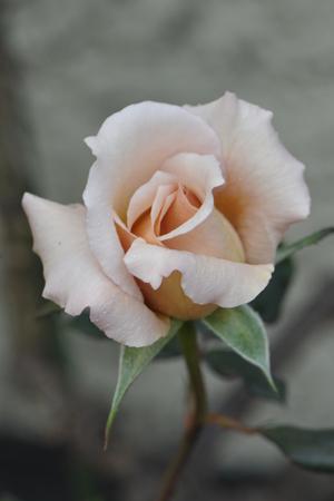 rose20151031-1.jpg