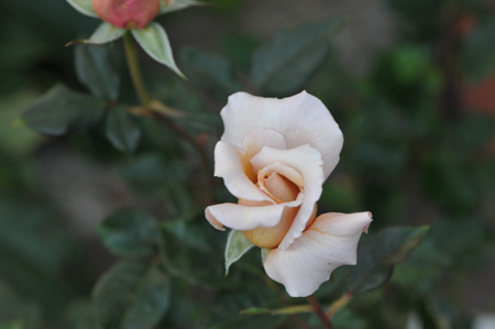 rose20151031-1a.jpg