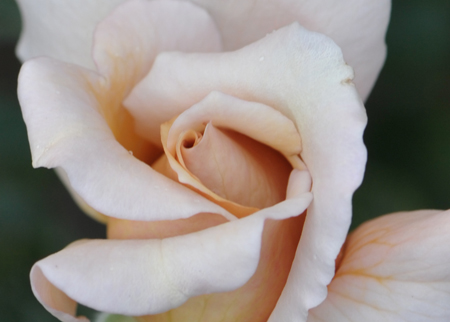 rose20151031-1b.jpg