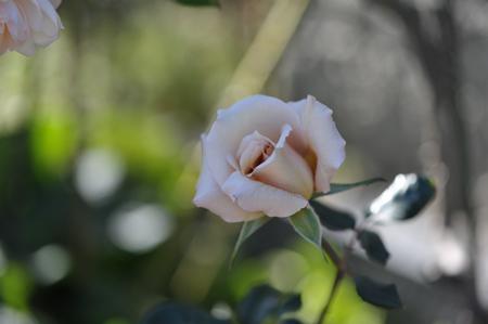 rose20151031-1c.jpg