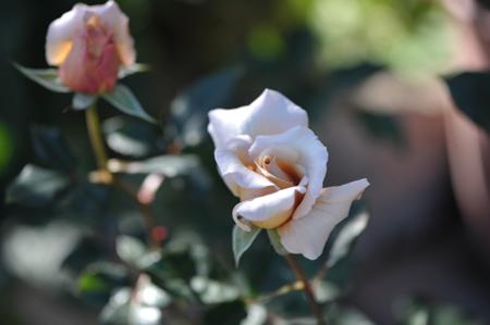 rose20151031-1d.jpg