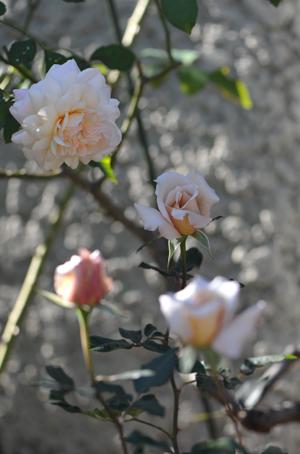 rose20151031-1e.jpg