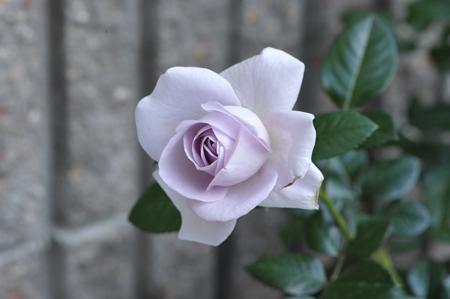 rose20151031-2a.jpg