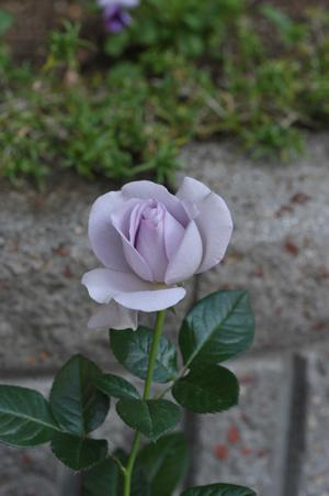 rose20151031-2b.jpg