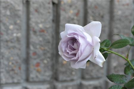 rose20151031-2c.jpg