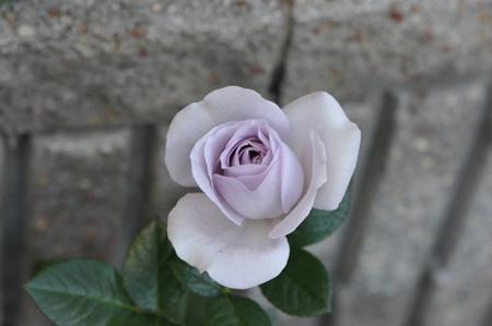rose20151031-2e.jpg