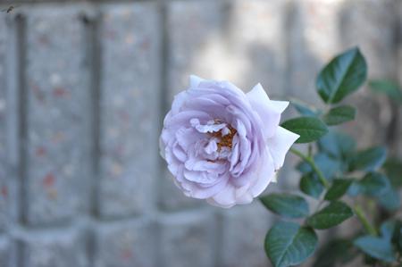 rose20151031-2f.jpg