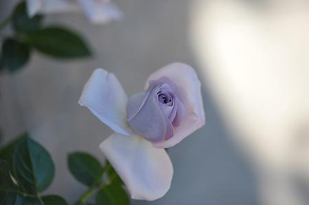 rose20151031-2g.jpg