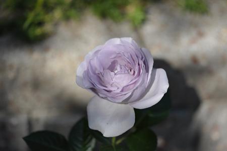 rose20151031-2h.jpg