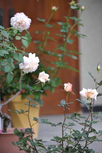 rose20151101-1.jpg