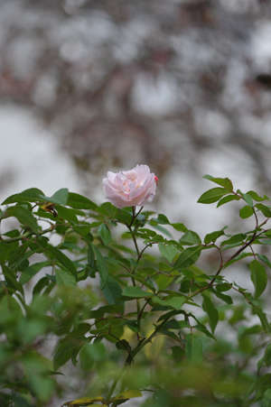 rose20151101-10.jpg