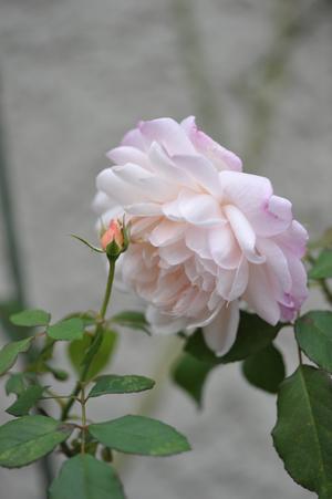 rose20151101-12.jpg