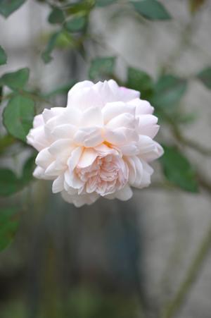 rose20151101-13.jpg
