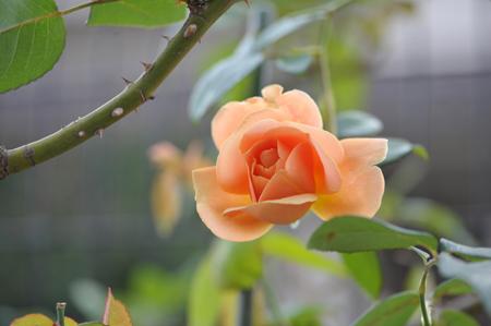 rose20151101-14.jpg