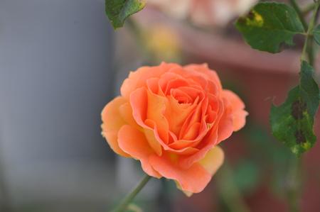 rose20151101-15.jpg