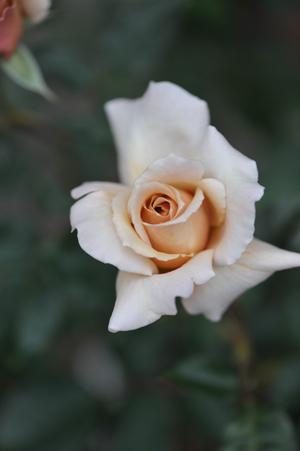 rose20151101-16.jpg