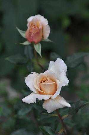 rose20151101-18.jpg