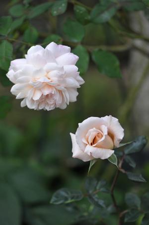 rose20151101-4.jpg