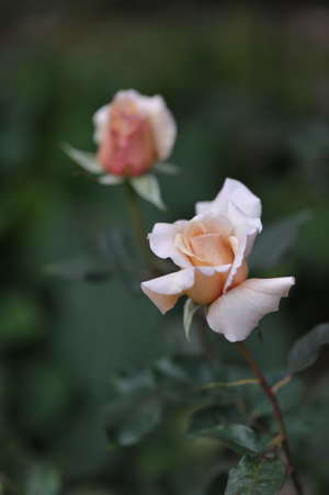 rose20151101-5.jpg