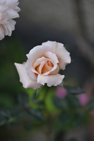 rose20151101-6.jpg