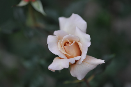 rose20151101-8.jpg