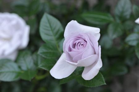 rose20151101-9a.jpg