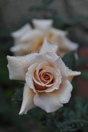 rose20151109-1.jpg