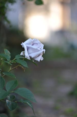 rose20151109-10.jpg