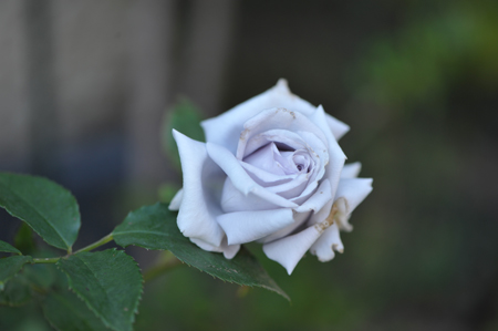 rose20151109-10a.jpg