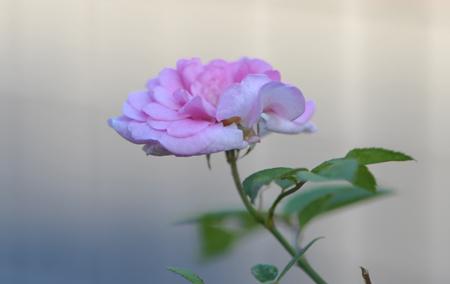 rose20151109-11.jpg