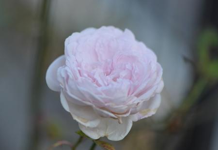 rose20151109-11a.jpg