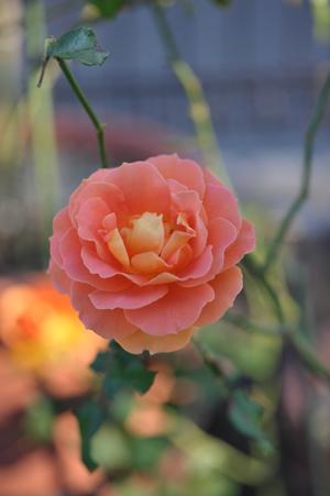 rose20151109-12.jpg