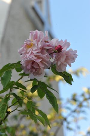 rose20151109-13.jpg