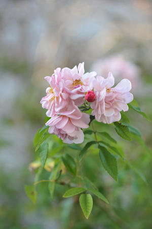 rose20151109-13a.jpg