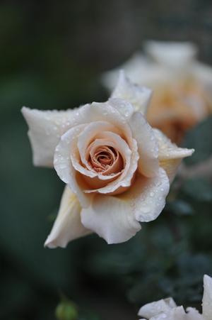 rose20151109-1a.jpg