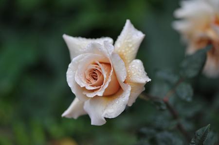 rose20151109-2.jpg