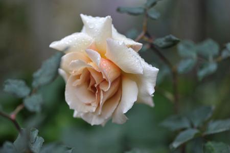 rose20151109-3.jpg